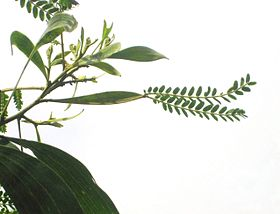 Acacia koa with phyllode between the branch and the compound leaves.JPG