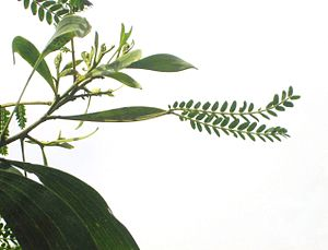 Acacia koa with phyllode between the branch an...