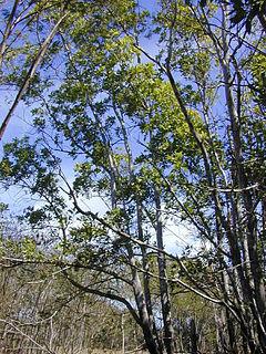 <i>Acacia mangium</i> species of plant