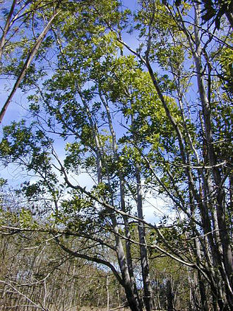 Acacia mangium - Image: Acaciamangium 1web