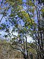 Acaciamangium1web.jpg