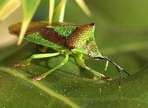 Hemiptera - Acanthosoma haemorrhoidale, a shield bug