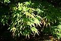 Acer palmatum 'Elegans' JPG1L.jpg