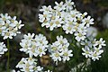 Achillea Clavennae - Alpine Flora.jpg
