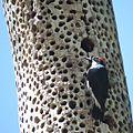 Acorn woodpecker 2 (17813144603).jpg