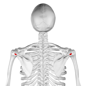 Acromial angle - Posterior view. Acromional angle shown in red.