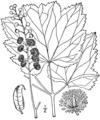 Actaea rubifolia drawing.png