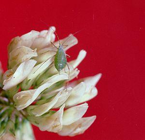 Acyrthosiphon pisum Harris Host: clover Trifol...