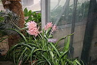 Aechmea purpureorosea
