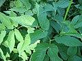 Aegopodium podagraria blatt.jpg