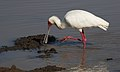 African Spoonbill, Platalea alba, at Pilanesberg National Park, Northwest Province, South Africa (28635420292).jpg