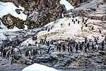 Afternoon zodiak excursion around ice strewn clerva cove.more Gentoo Penguins. (26002104225).jpg