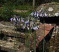 Agapanthus inapertus pale blue - Flickr - peganum (1).jpg
