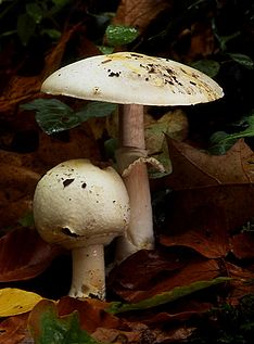 Agaricus silvicola father and son.jpg