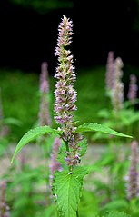 Agastache mexicana Prague 2014 3.jpg