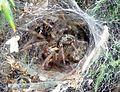 Agelenidae. (Agelena labyrinthica) - Flickr - gailhampshire.jpg