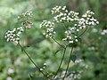 Ageratina altissima SCA-5479.jpg