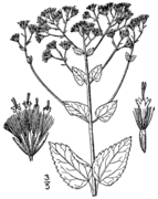 Ageratina aromatica aromatica drawing.png