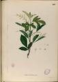 Aglaia odorata Blanco2.410-original.png