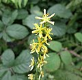 Agrimonia eupatoria (Common Agrimony or Church Steeples), Eggesford, South Devon.jpg
