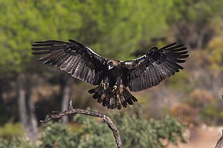 Spanish imperial eagle species of bird