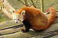 Ailurus fulgens Panda Rosso Red Panda.jpg