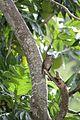 Allenia fusca in Coulibistrie-a07.jpg