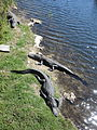 Alligators-OasisVisitorCenter-BigCypressNationalPreserve.JPG