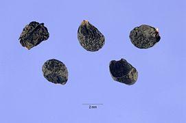 Allium tolmiei seeds.jpg