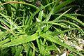 Aloe dorotheae-Jardin botanique Jean-Marie Pelt (1).jpg
