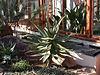 Aloe ferox 20070226-1543-72