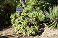 Aloe pluridens - San Francisco Botanical Garden - DSC09777.JPG