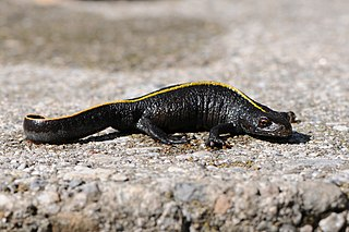 Italian crested newt species of amphibian