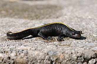 Italian crested newt - Juvenile with yellow dorsal stripe