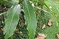 Alpinia purpurata 50zz.jpg