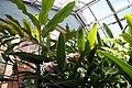 Alpinia zerumbet 13zz.jpg