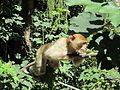Alsazia montagne des singes 1.JPG