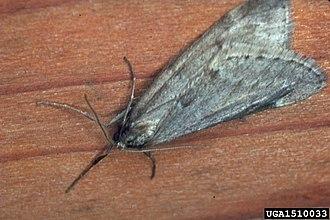 Alsophila pometaria - Image: Alsophila pometaria 1510033