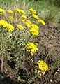 Alyssum montanum kz01.jpg