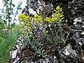 Alyssum montanum subsp. montanum sl4.jpg