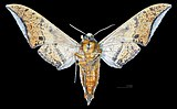 Ambulyx maculifera MHNT CUT 2010 0 155 Assam, India male ventral.jpg