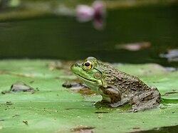 American Bullfrog on a Lily Pad (7915817936).jpg