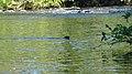 American Mink (Neovison vison) - Thunder Bay, Ontario 01.jpg