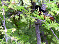 American Redstart Male Glimpse 8 Jun 05 (18427828).jpg