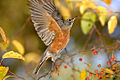 American Robin 4.jpg