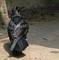 American crow mexico zoo.jpg