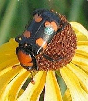 Burying beetle - American burying beetle (Nicrophorus americanus)
