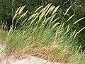 Ammophila arenaria Piaskownica zwyczajna 2020-07-03 02.jpg
