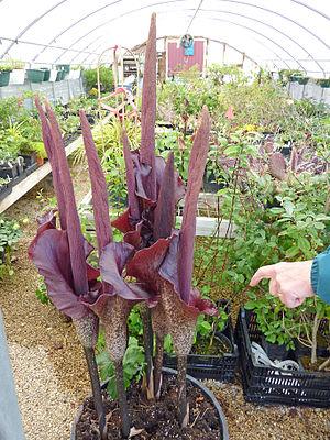 Konjac - Amorphophallus konjac in bloom