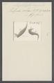 Amphileptus longicollis - - Print - Iconographia Zoologica - Special Collections University of Amsterdam - UBAINV0274 113 11 0007.tif